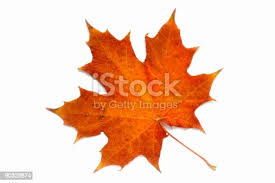 94,259 <b>Maple Leaves</b> Stock Photos, Pictures & Royalty-Free Images ...