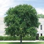 Images & Illustrations of cedar elm