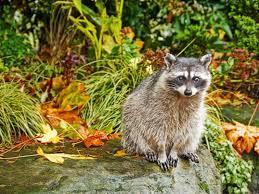 Risultati immagini per animali col pelo autunnale