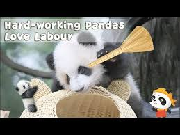 Hard-working <b>Pandas Love</b> Labour | iPanda