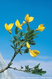 Cytisus emeriflorus Rchb.
