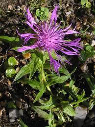 Einköpfige Flockenblume – Wikipedia