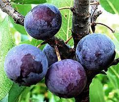 antioxidant rich plums