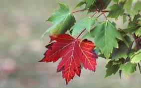 weather-autumn-red-o