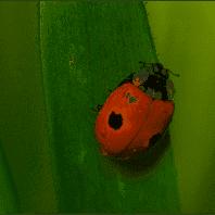 Betzold Marienkäfer Züchten